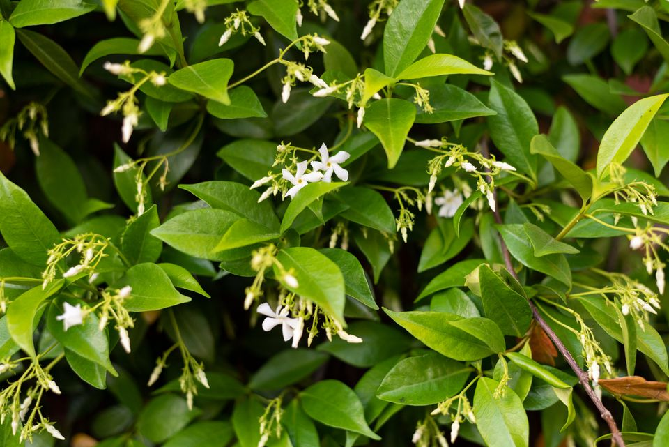 Star jasmine vines with bright green leaves and small white flowers and buds