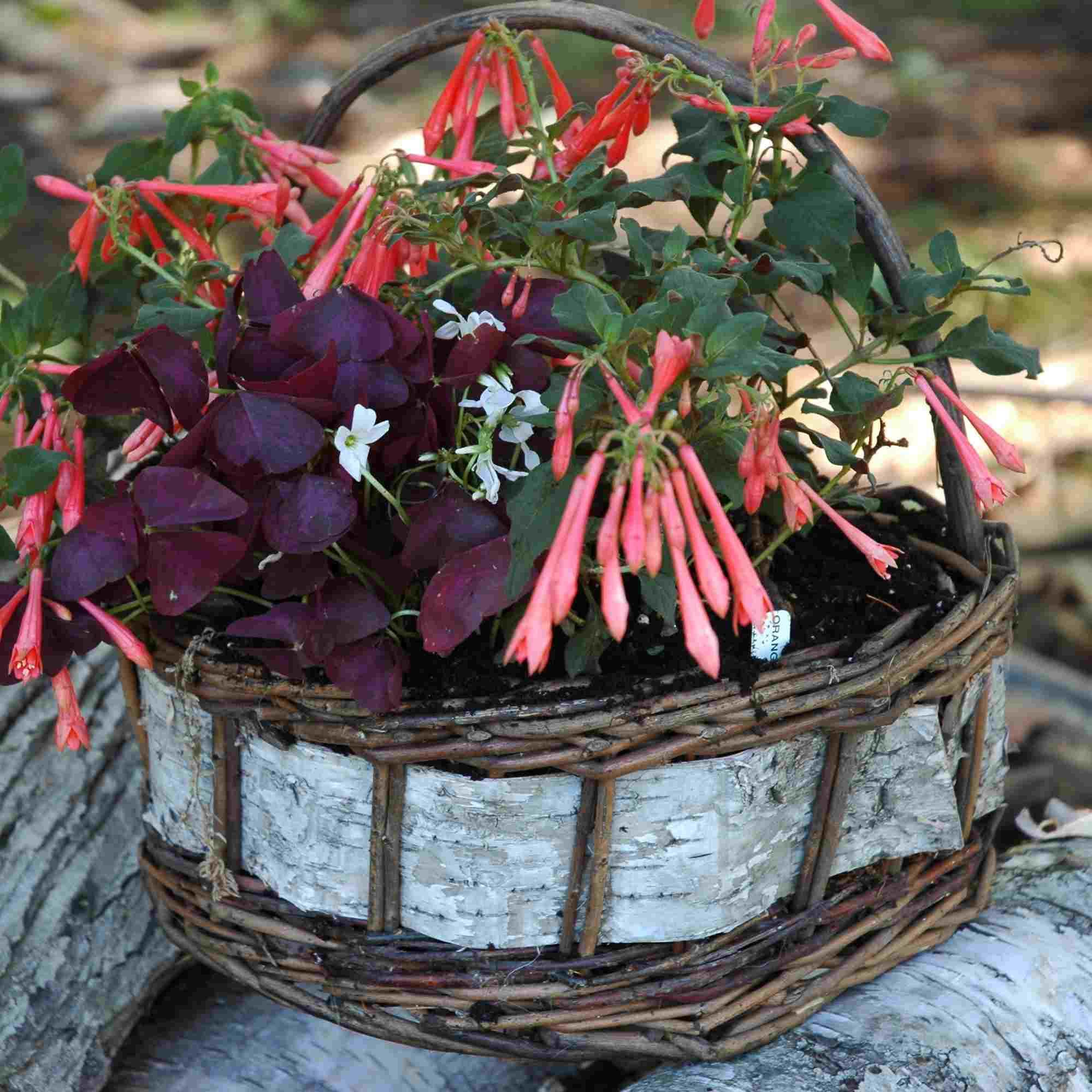 "rustic basket of fuchsia and ""charmed wine,"" shamrock"