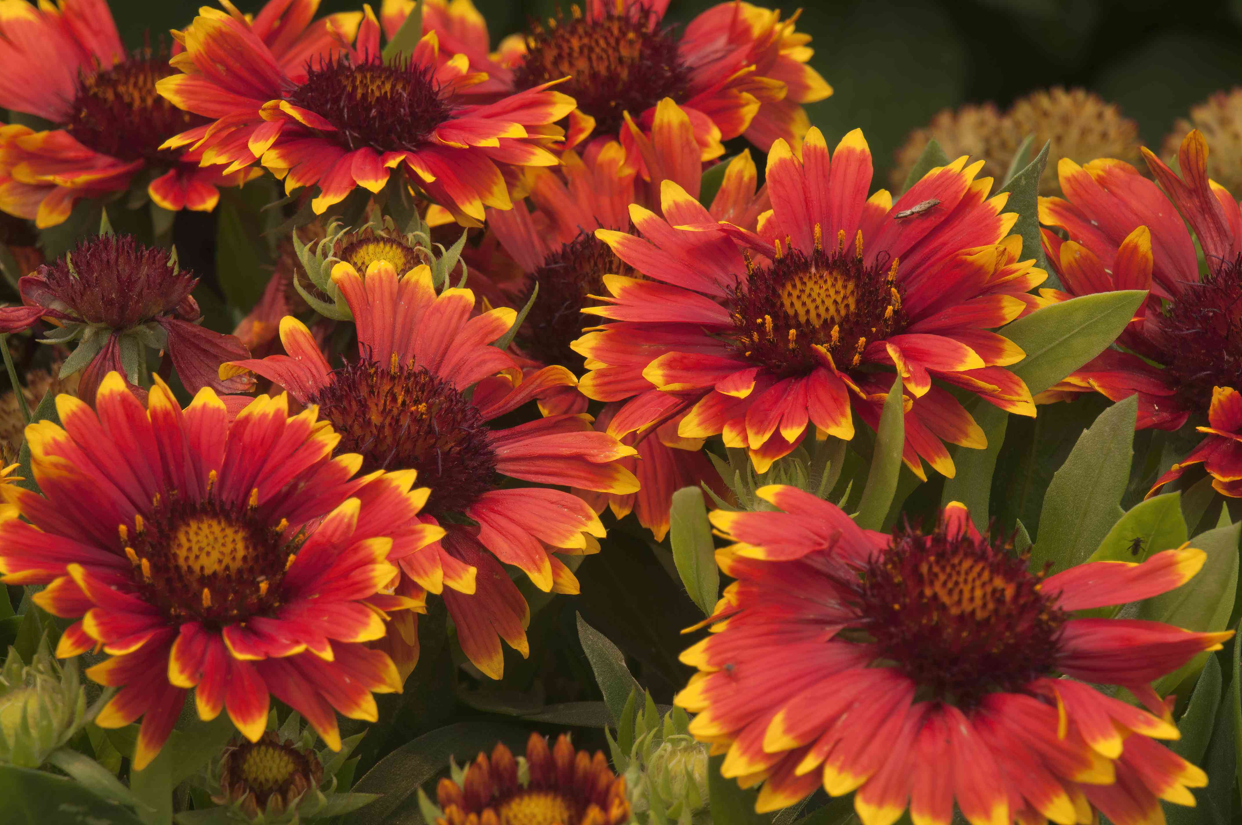 Close-up of a bunch of orange and yellow Gaillardia flowers