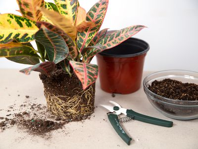 caring for a rootbound plant hero