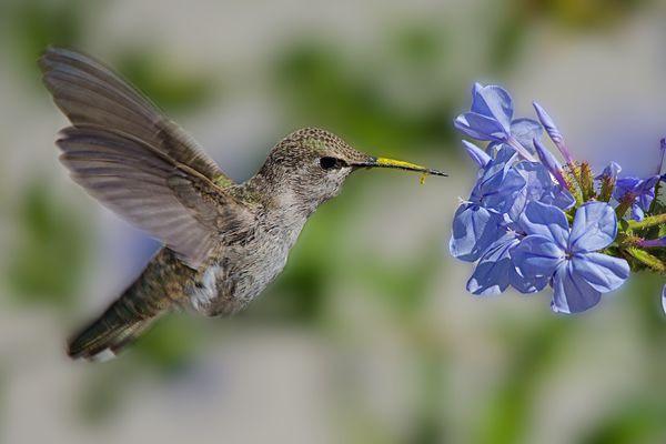 Hummingbird in flight near a flower