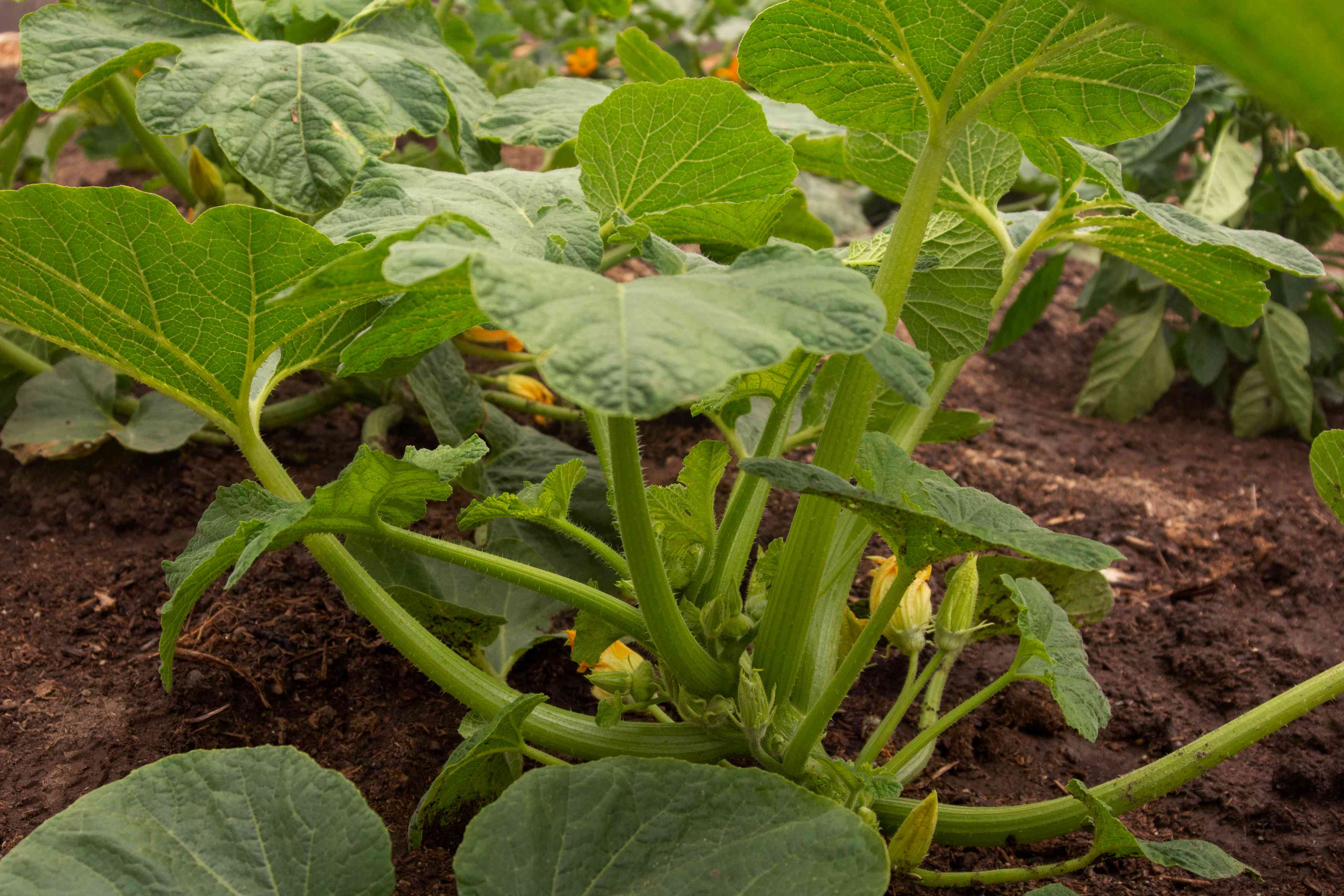 Patty pan squash plant with large leaves on thick stems
