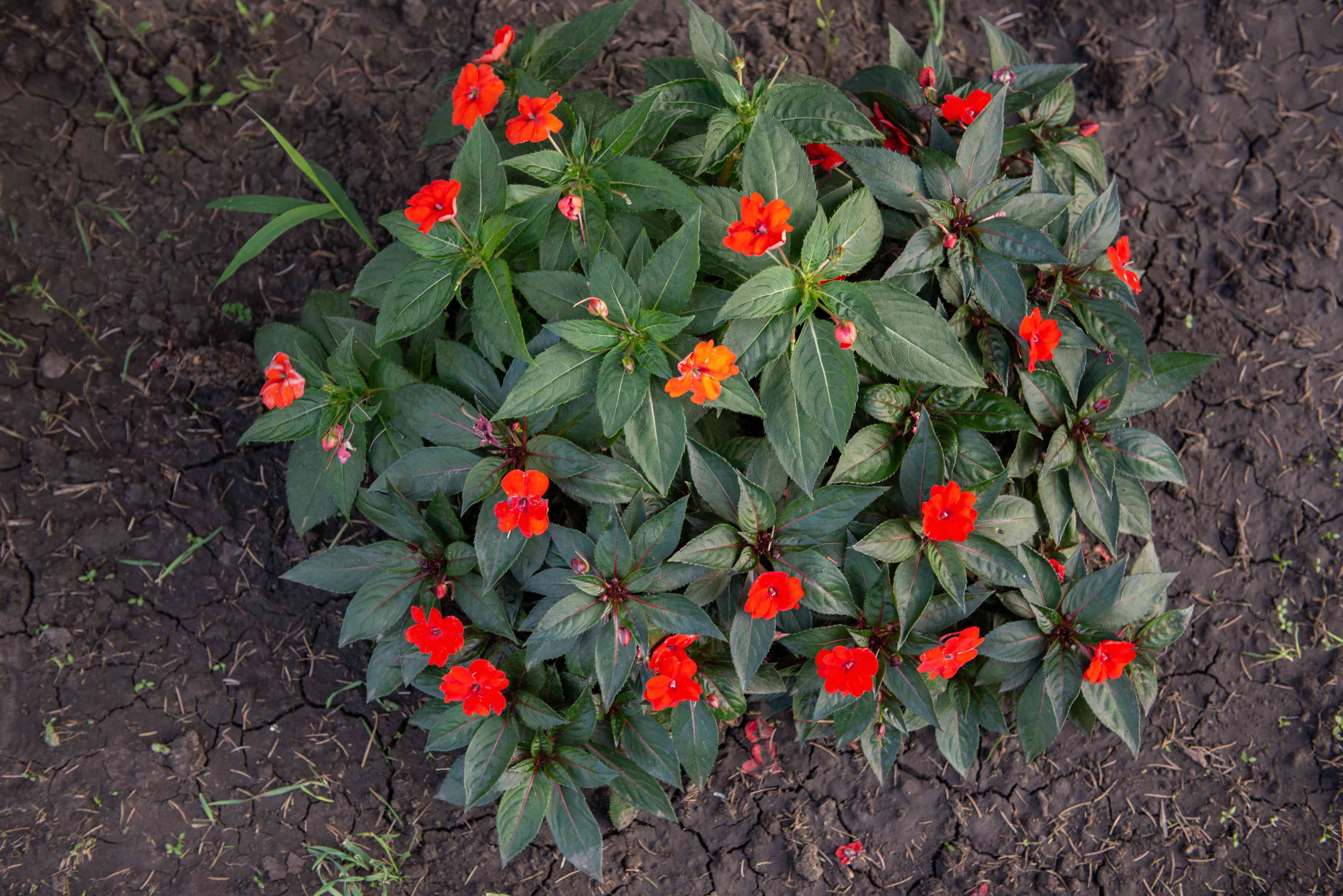 SunPatiens bush from above with bright red and orange flowers surrounded by clustered leaves