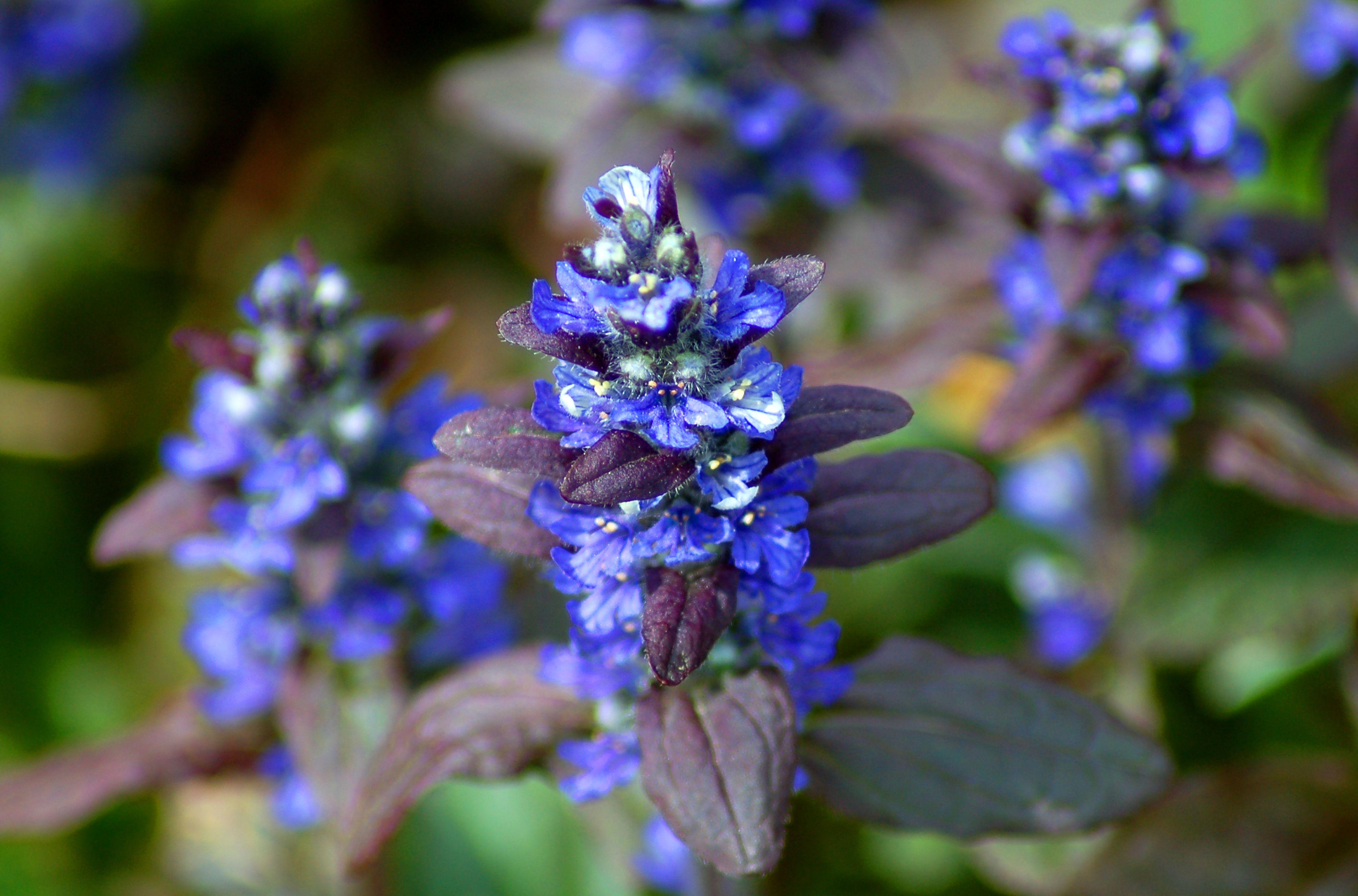 Ajuga plant with blue flowers.
