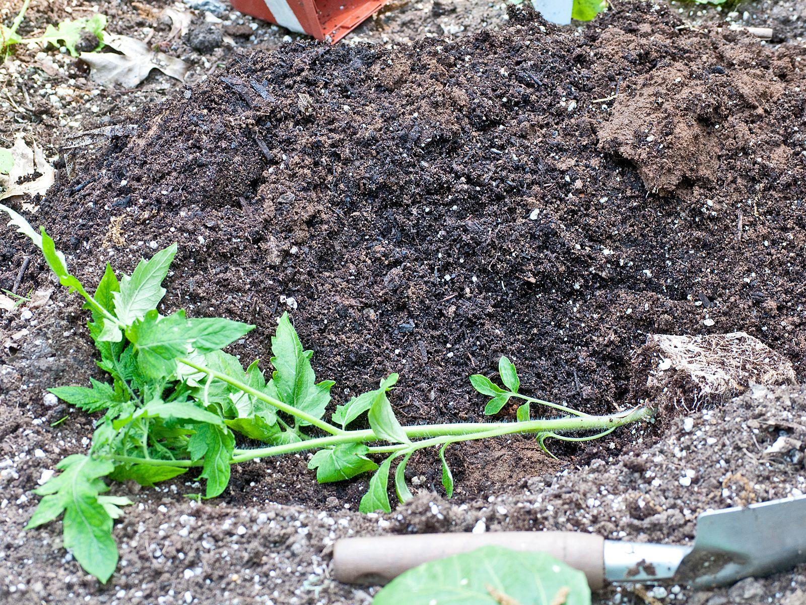 Cómo plantar un tomate
