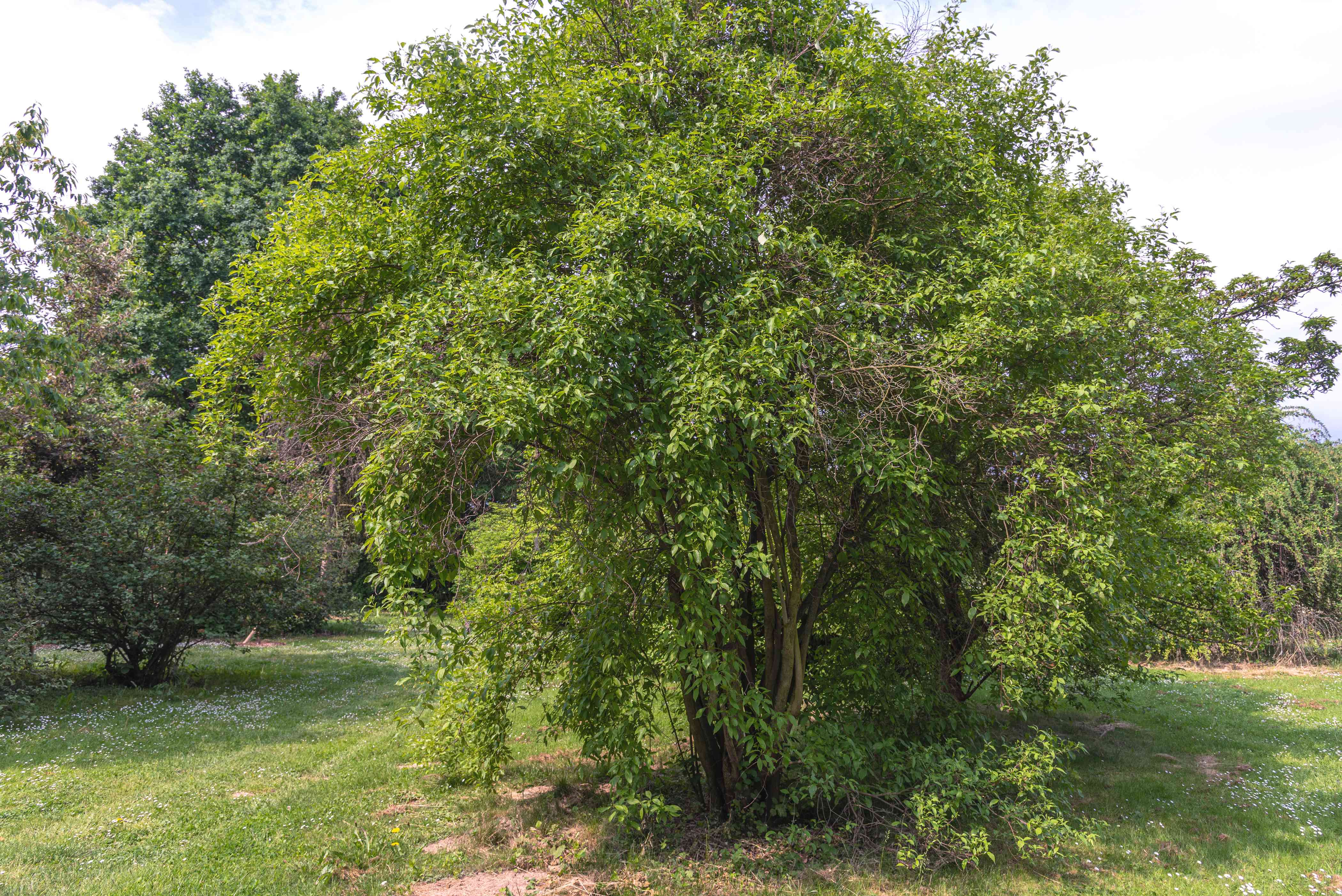 Gray dogwood native shrub with extending branches
