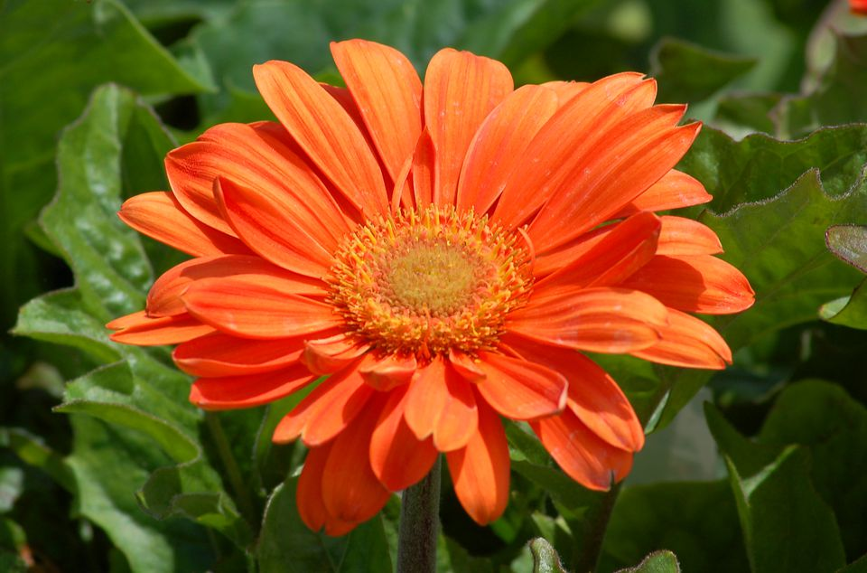 Orange gerbera daisy flower in bloom.