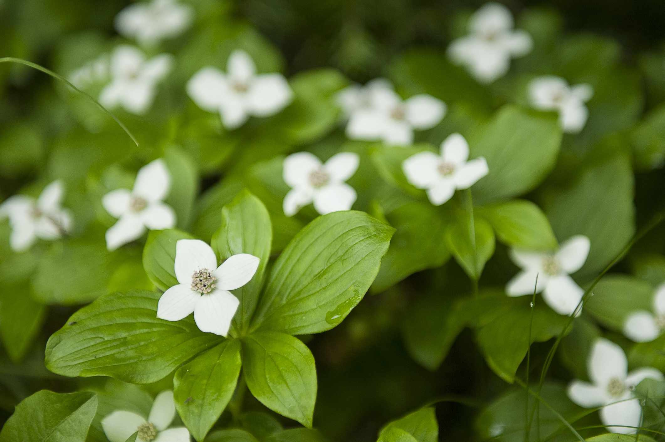Close-up of Bunchberry Flowers