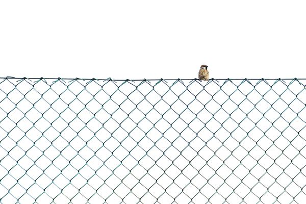 Sparrow Perching On Chainlink Fence Against Clear Sky