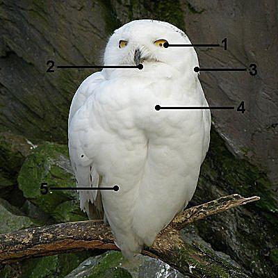 How To Identify Snowy Owls