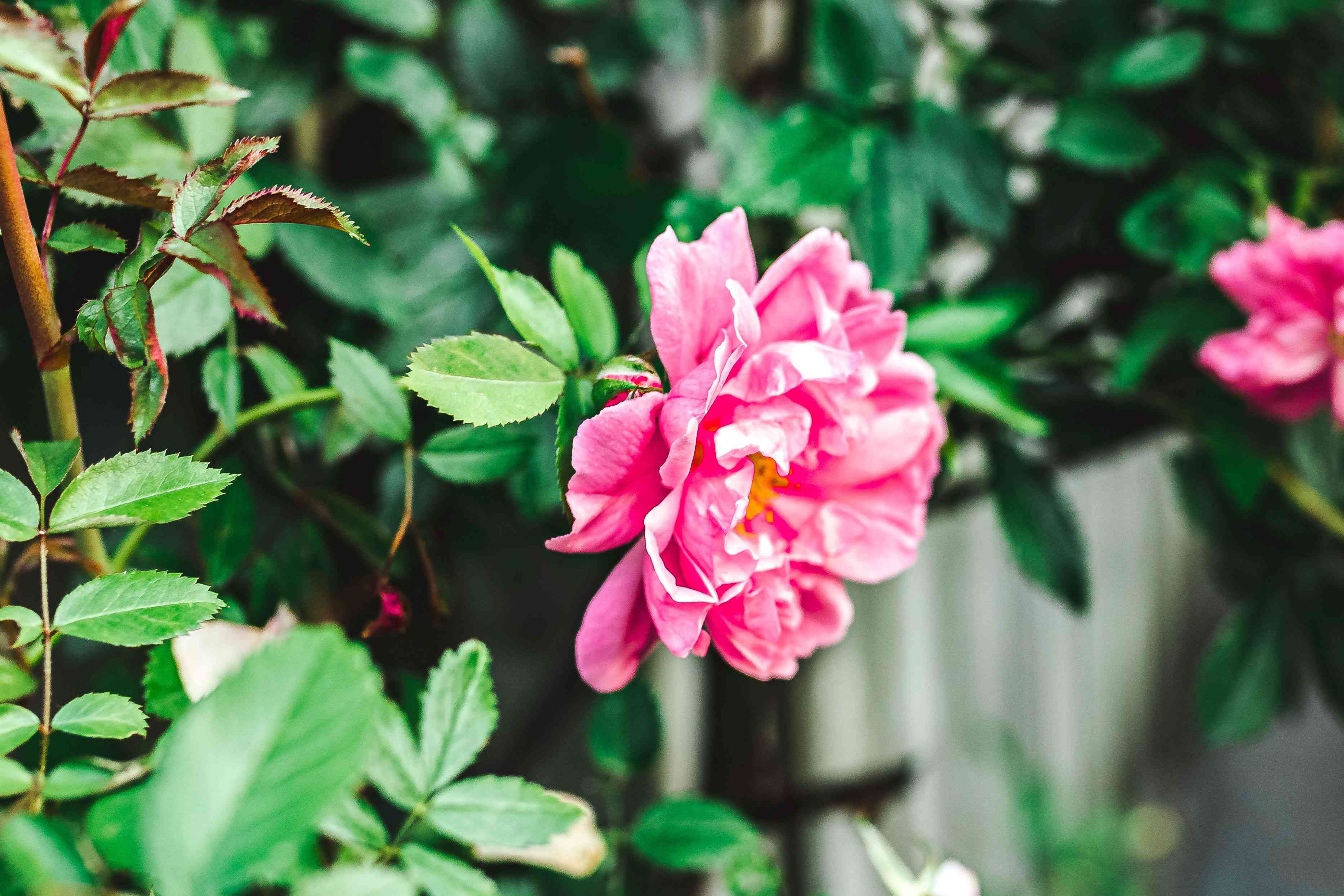 Rugosa rose shrub with large pink rose with ruffled petals on edge of branch