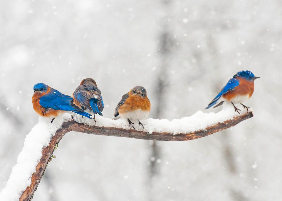 Bluebirds on Snowy Branch