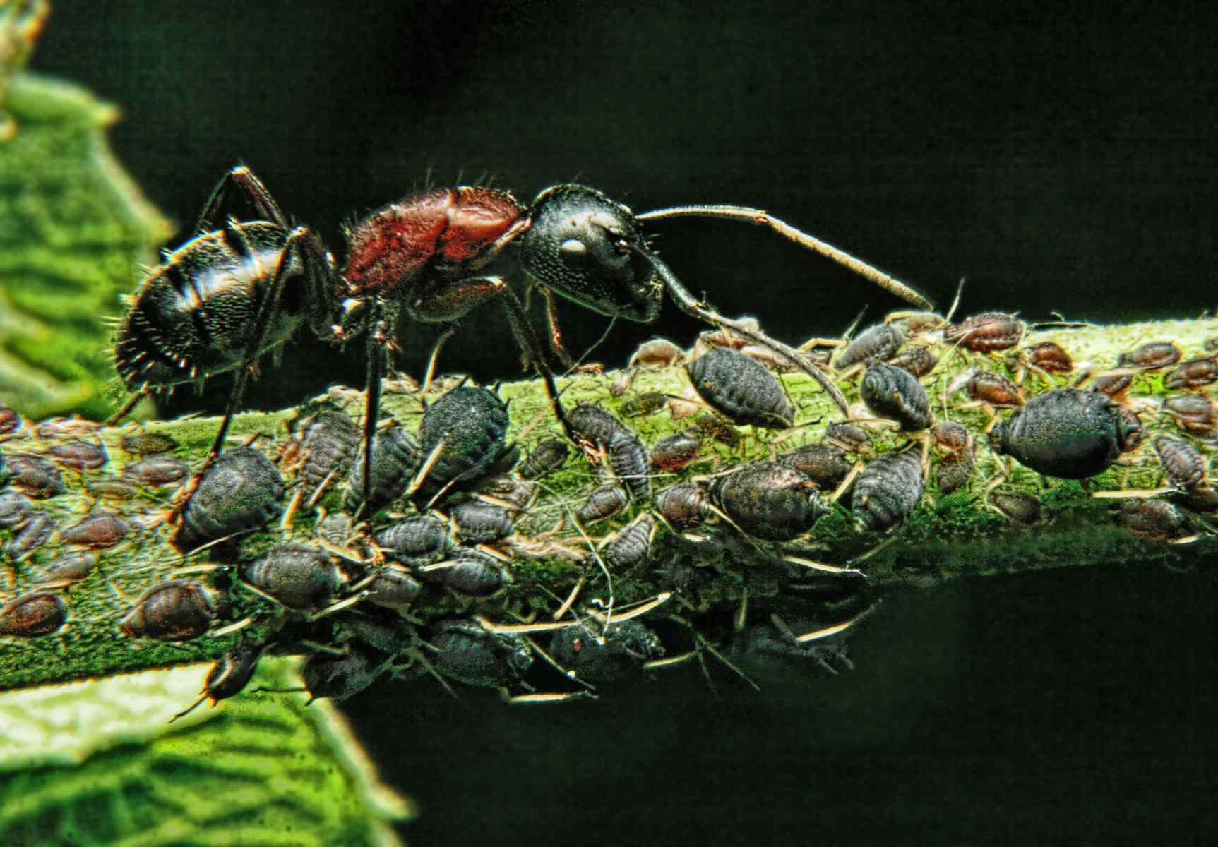 Ant tending aphids.