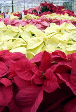 cuadros de flor de pascua de mármol rosa de invierno