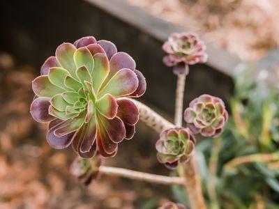 closeup of aeonium plants