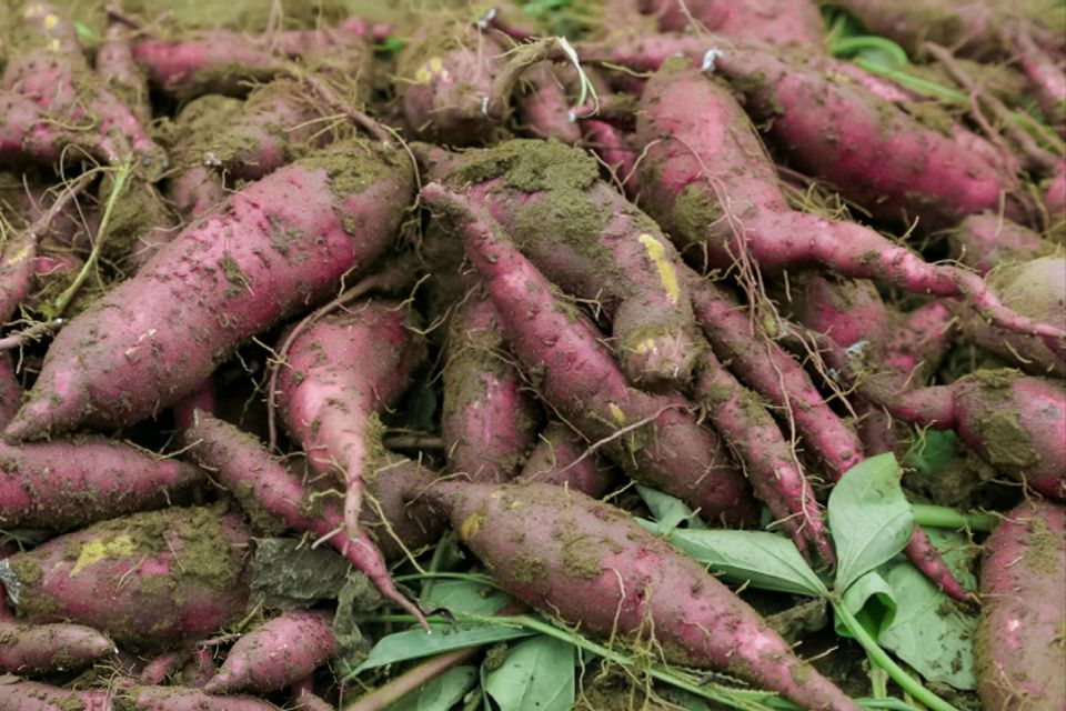 Sweet potatoes with roots and dirt piled on top of each other