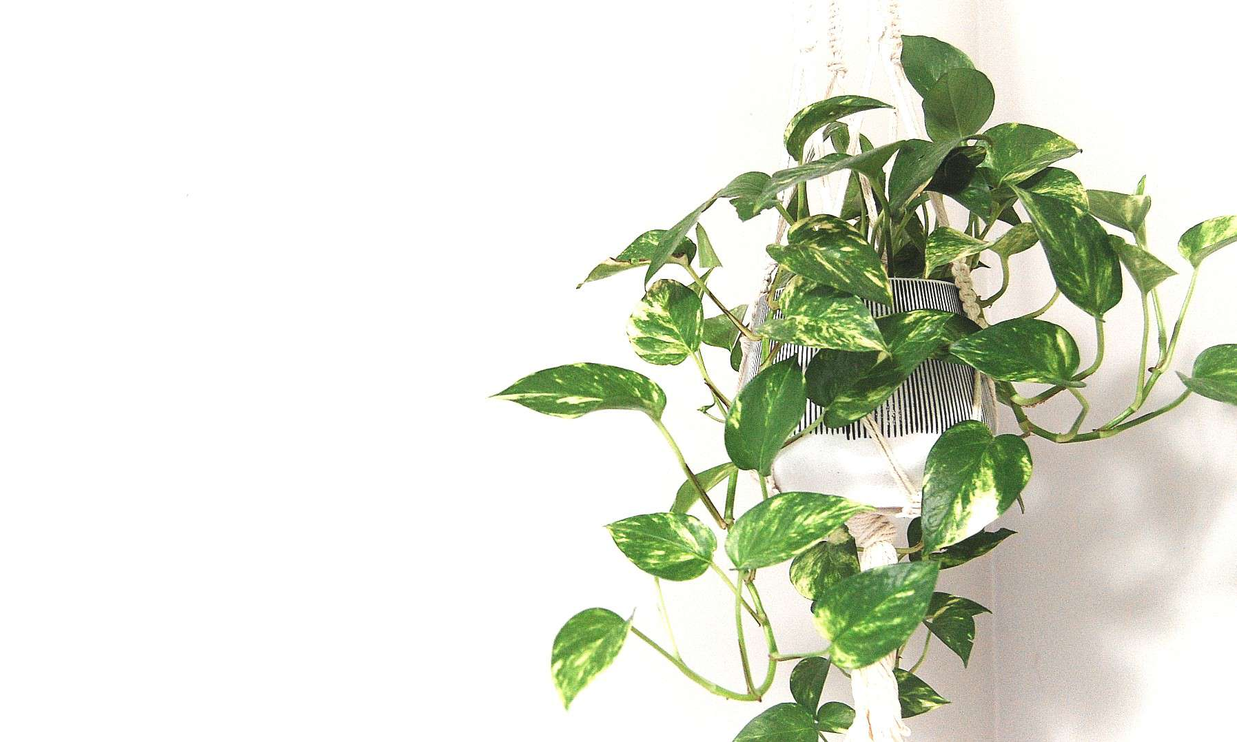 A pothos plant sits in a hanging macrame planter.