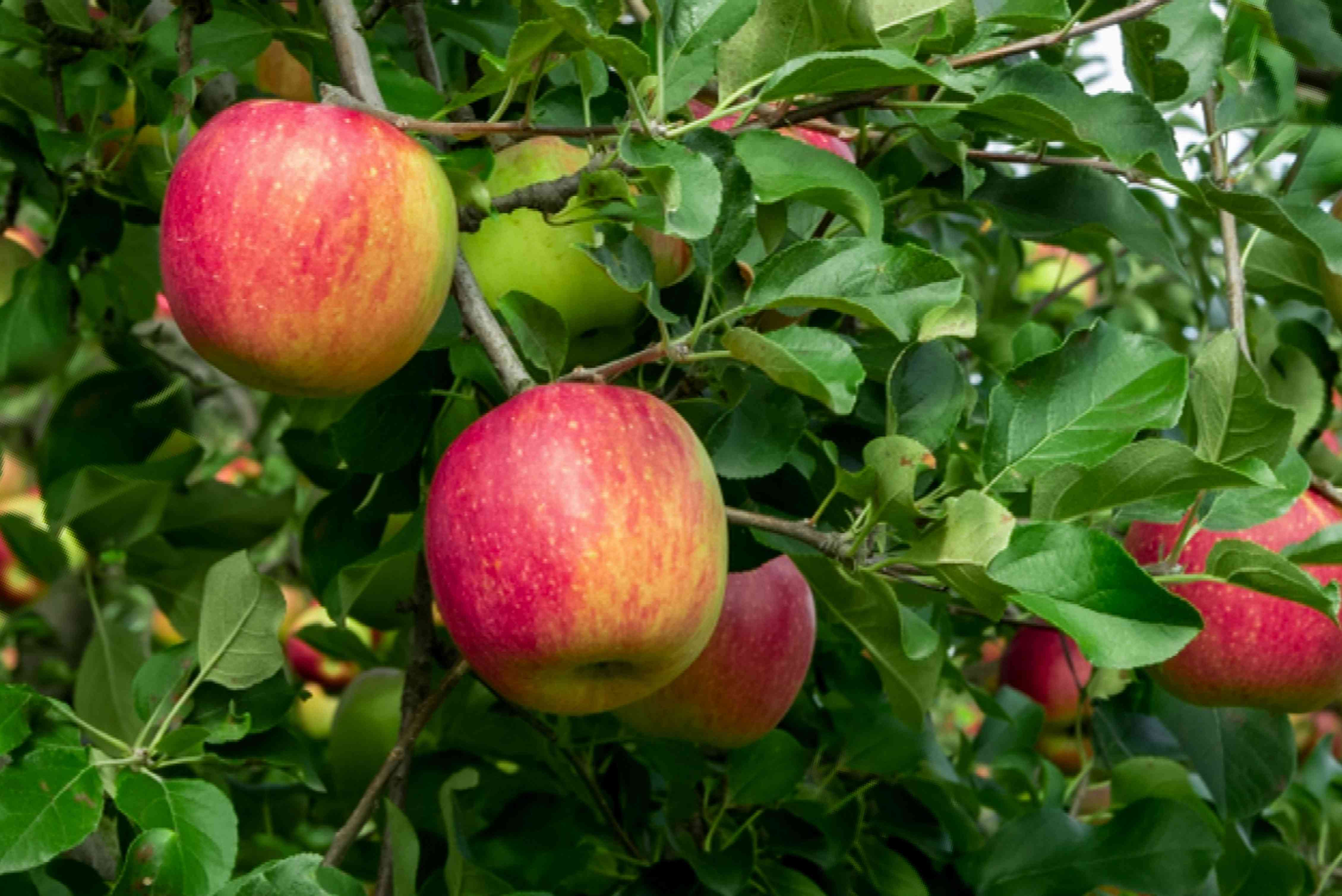 Gravenstein apple tree with red and yellow apples hanging on branches closeup