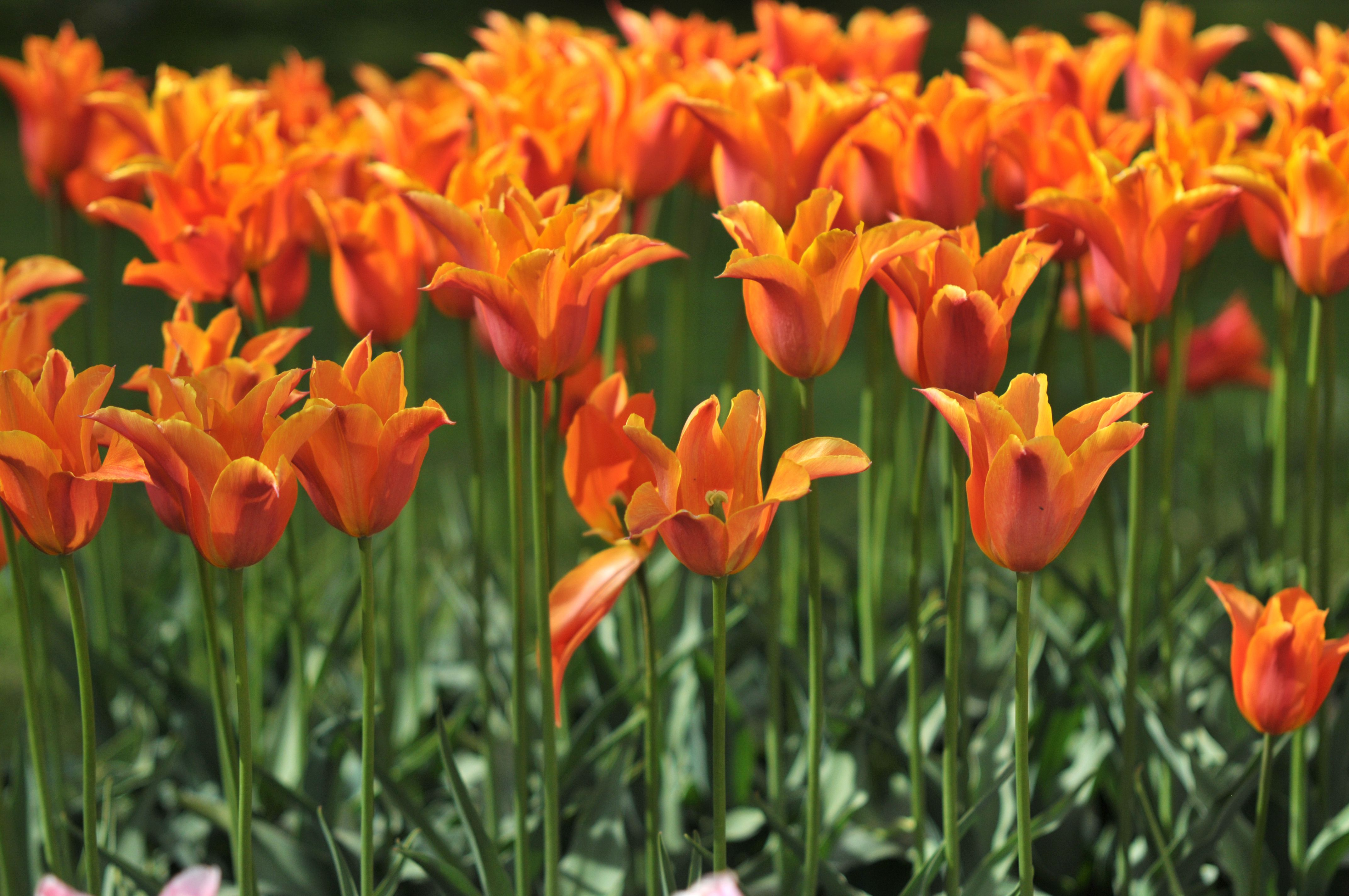 30 Seeds Pansy Orange,Perennial Bright Bloom Fragrant Large Garden Home Flowers!