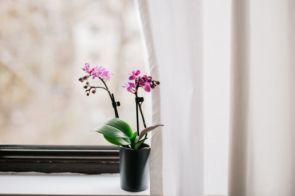 a blooming orchid plant on a windowsill