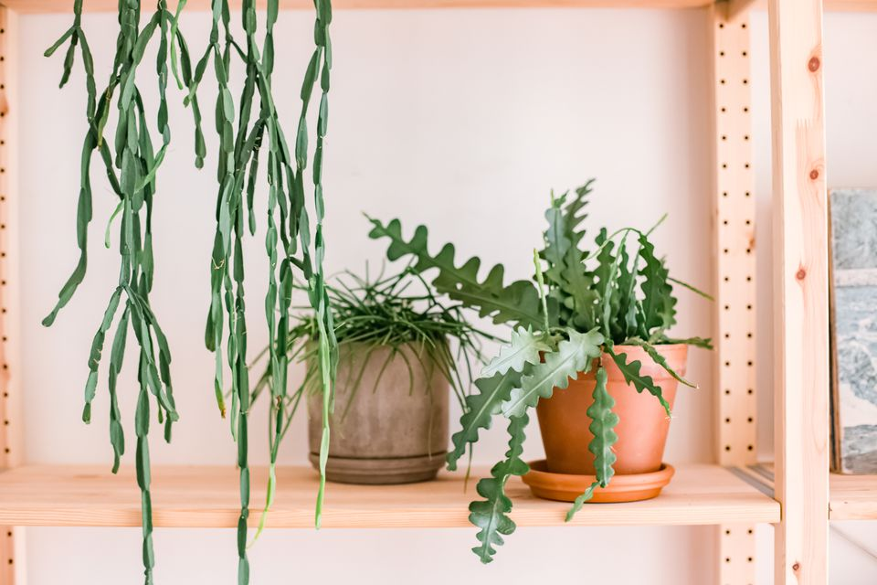 Rhipsalideae plants on a shelf