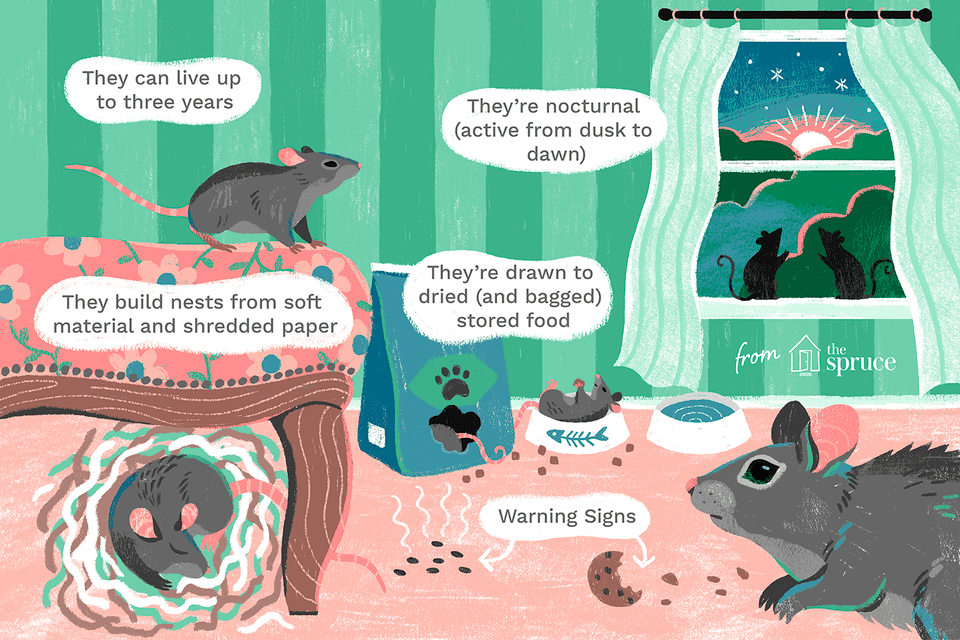 rats in the home illustration