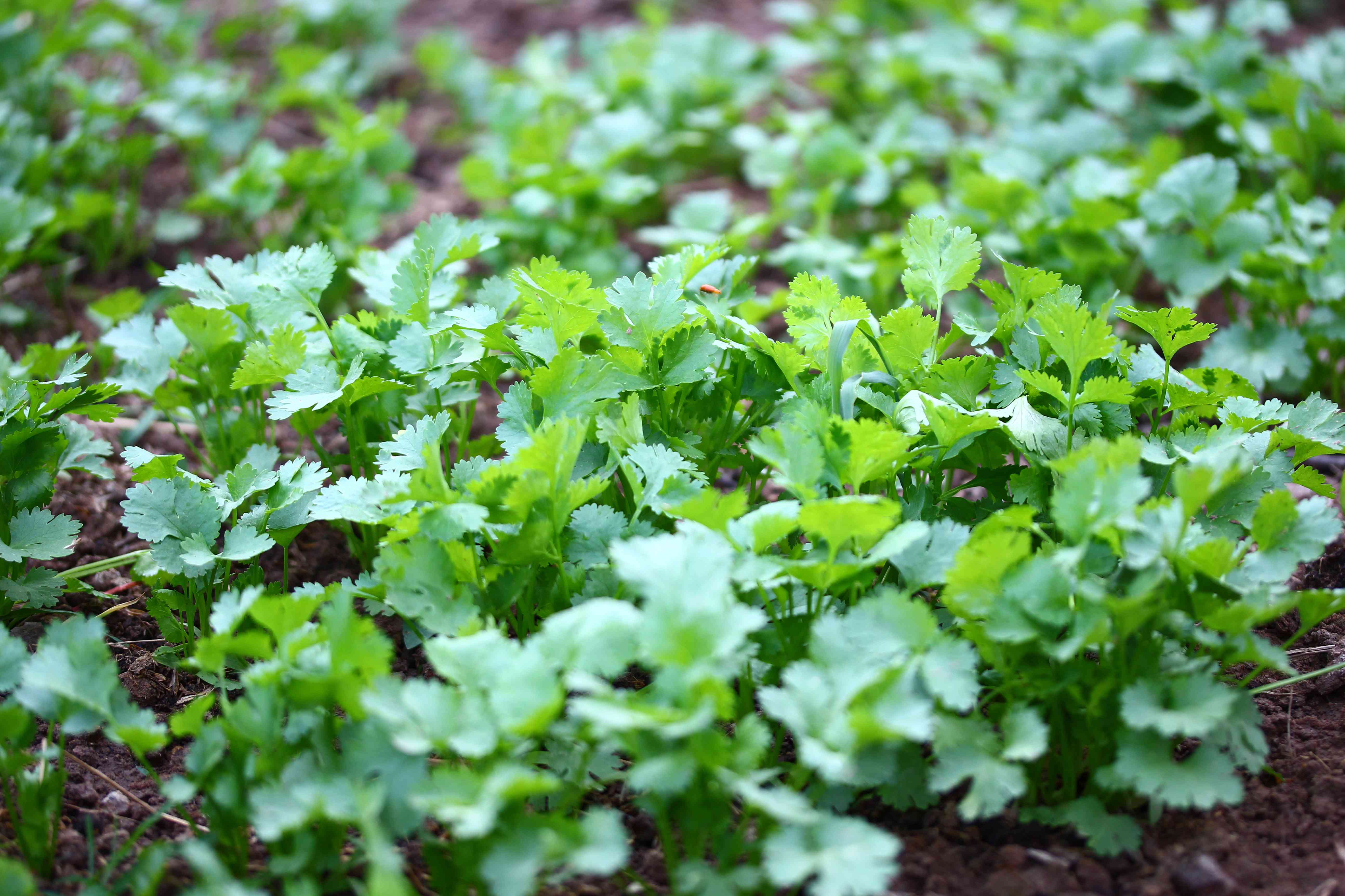 green coriander plants
