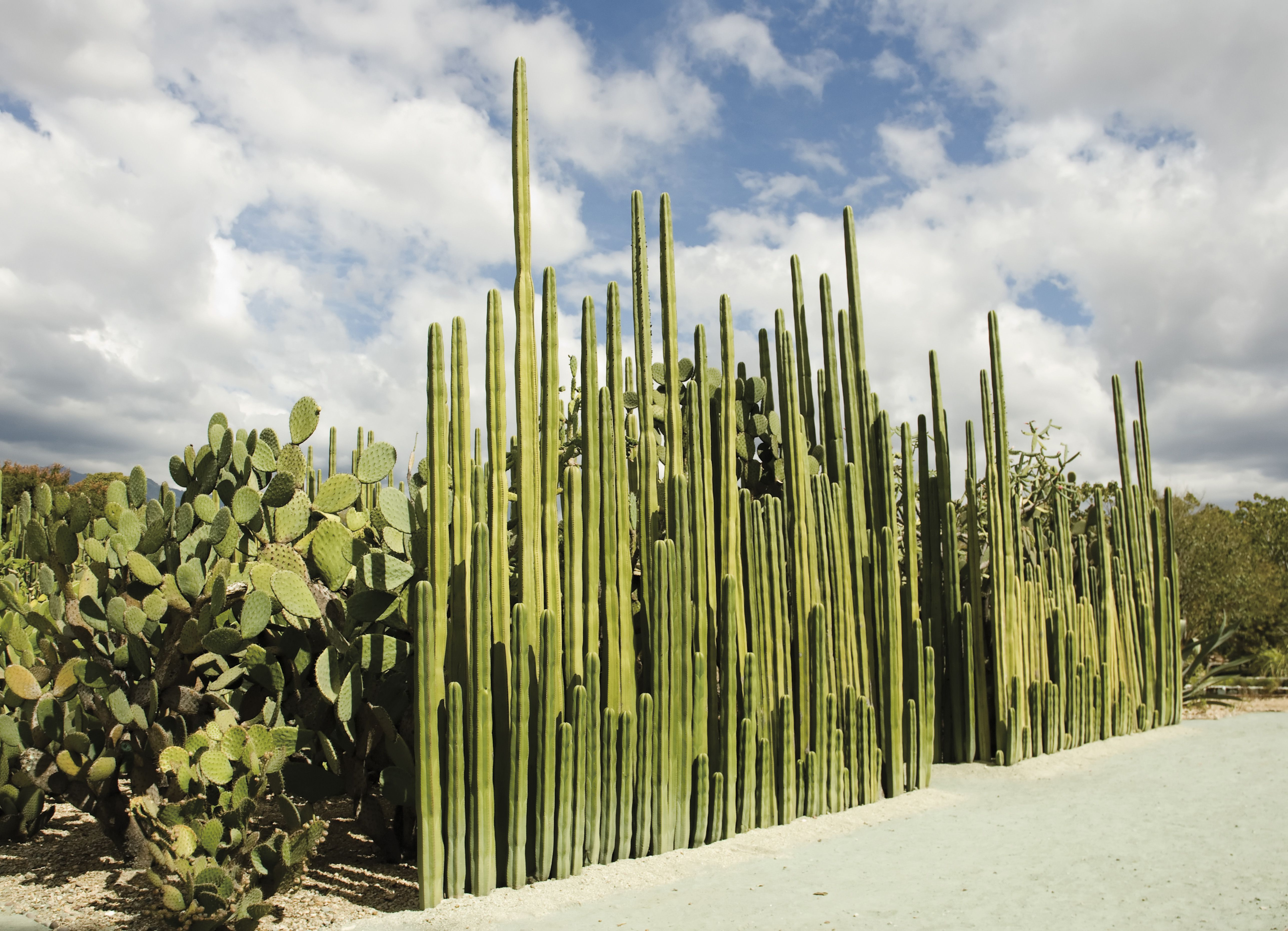 Mexican fence post cactus