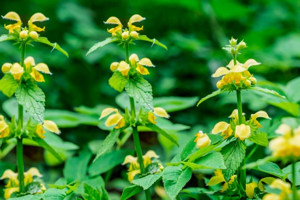 Yellow archangel plant with bright yellow tube-shaped flowers on tall stems