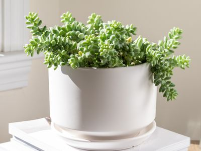 donkey's tail succulent
