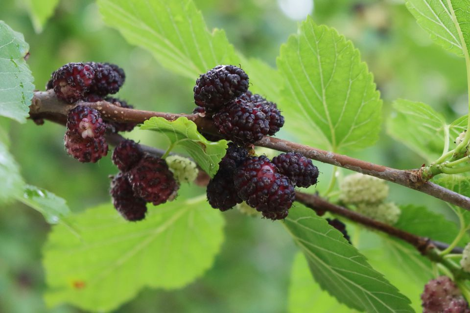 Close up of ripe mulberries and mulberry leaves.