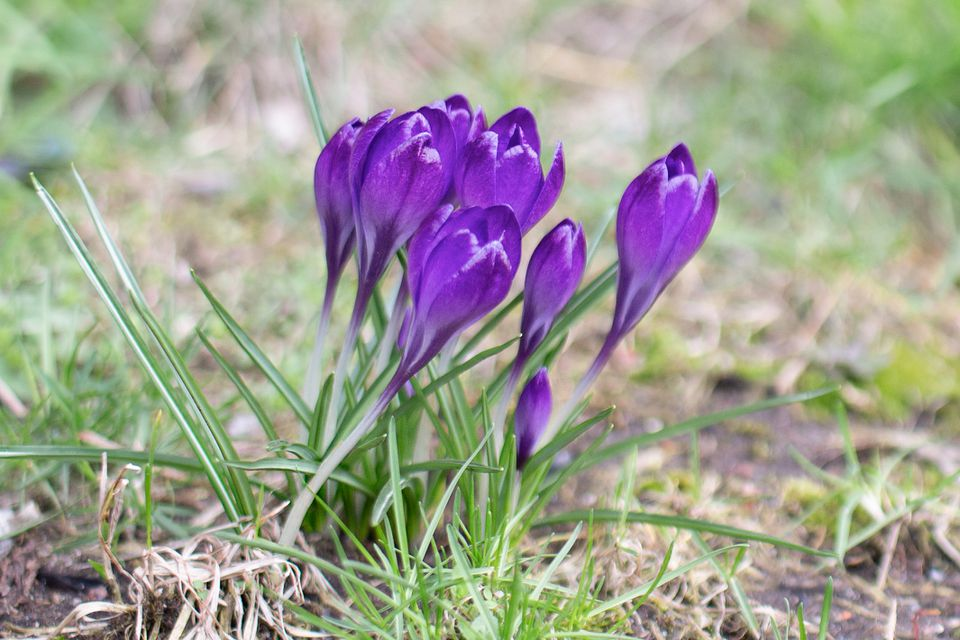 crocus flowers sprouting up from the ground