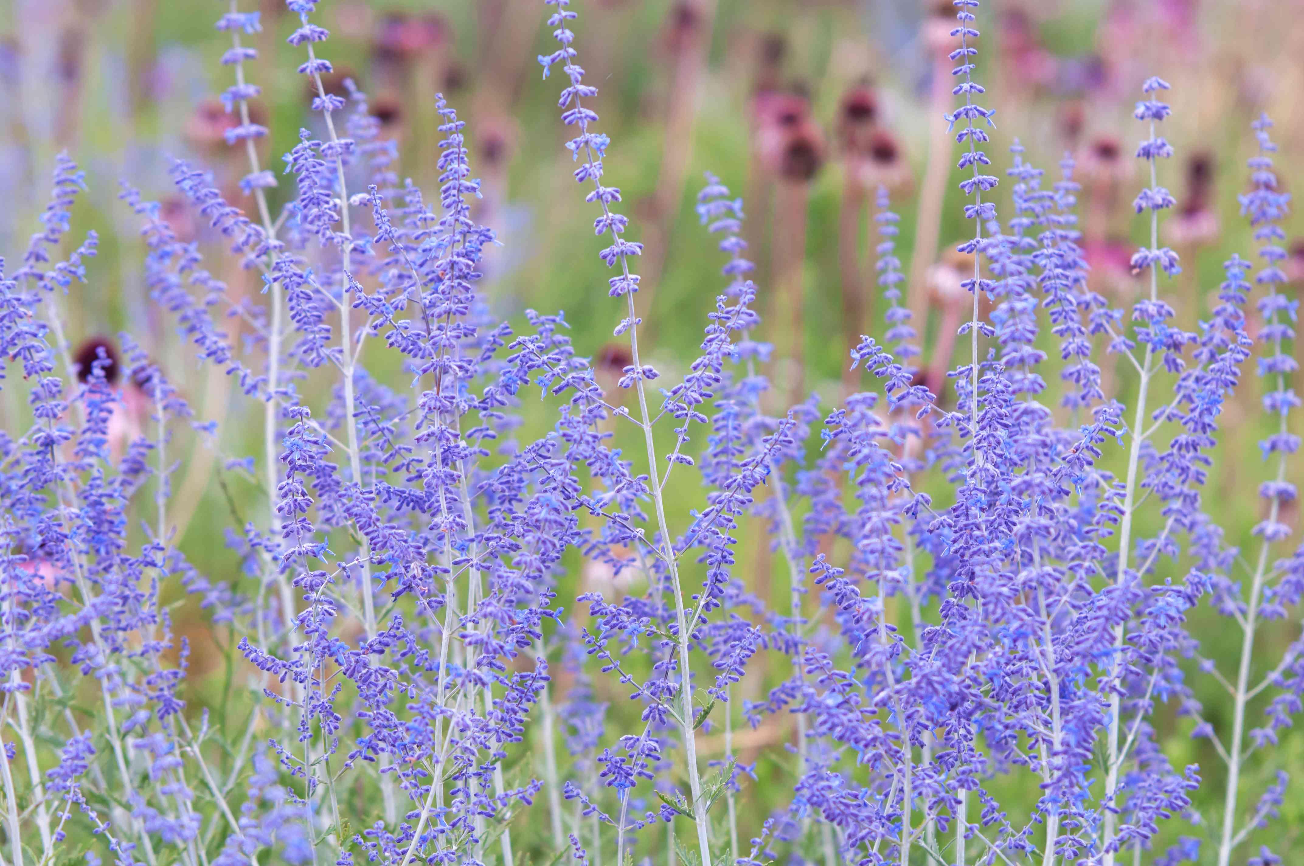 Russian sage with purple flowers in garden