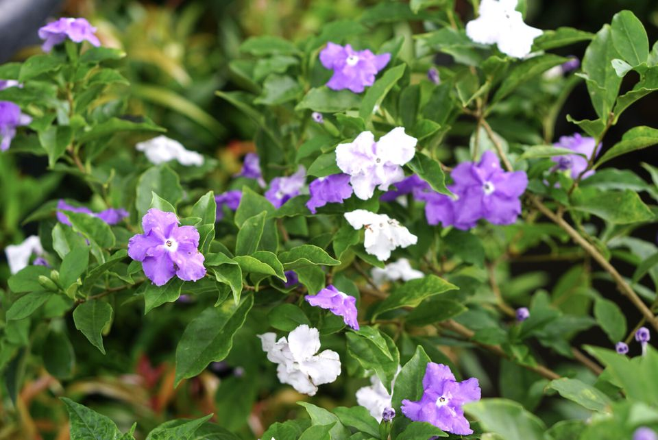 Brunfelsia pauciflora plant with purple and white flowers in shrub branches