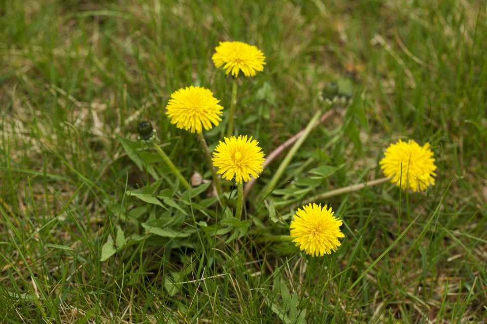 Dandelion Weed Growing in Lawn