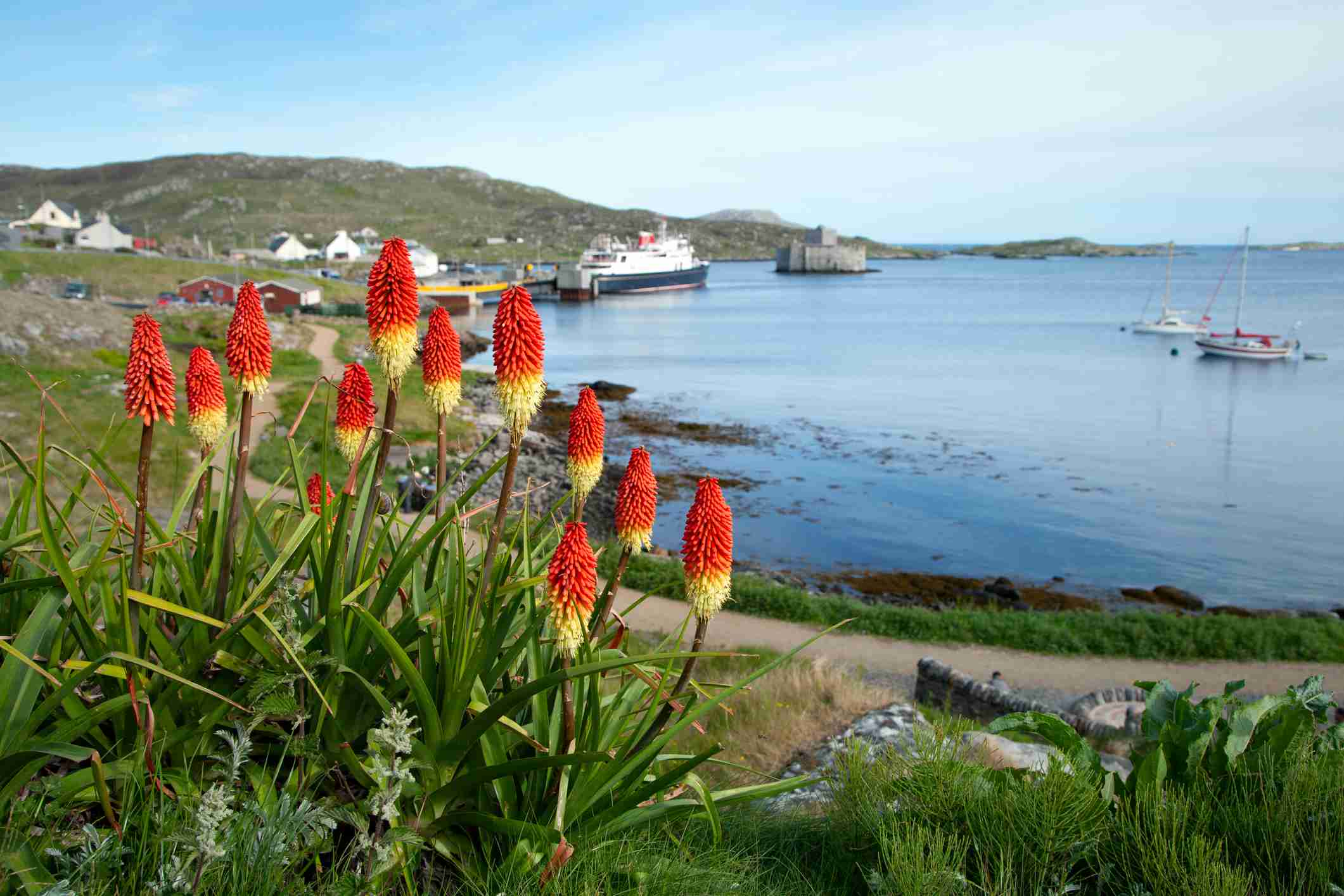 Red hot poker plants blooming against an ocean backdrop.