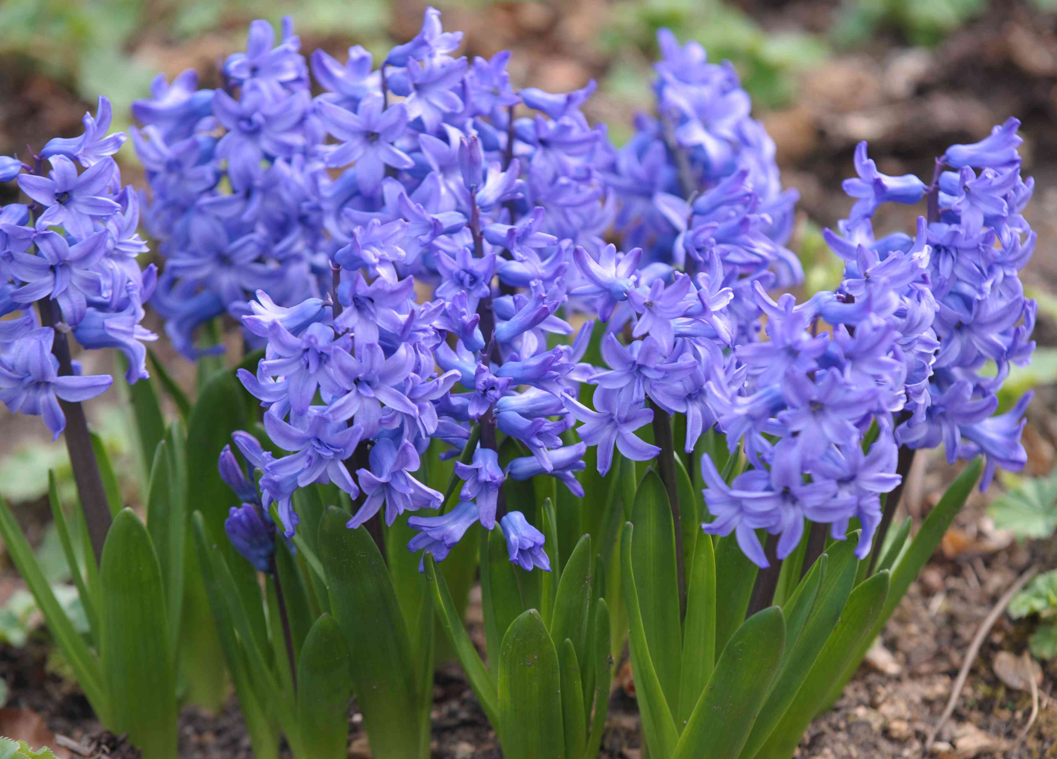 Purple hyacinth flowers with small clustered petals
