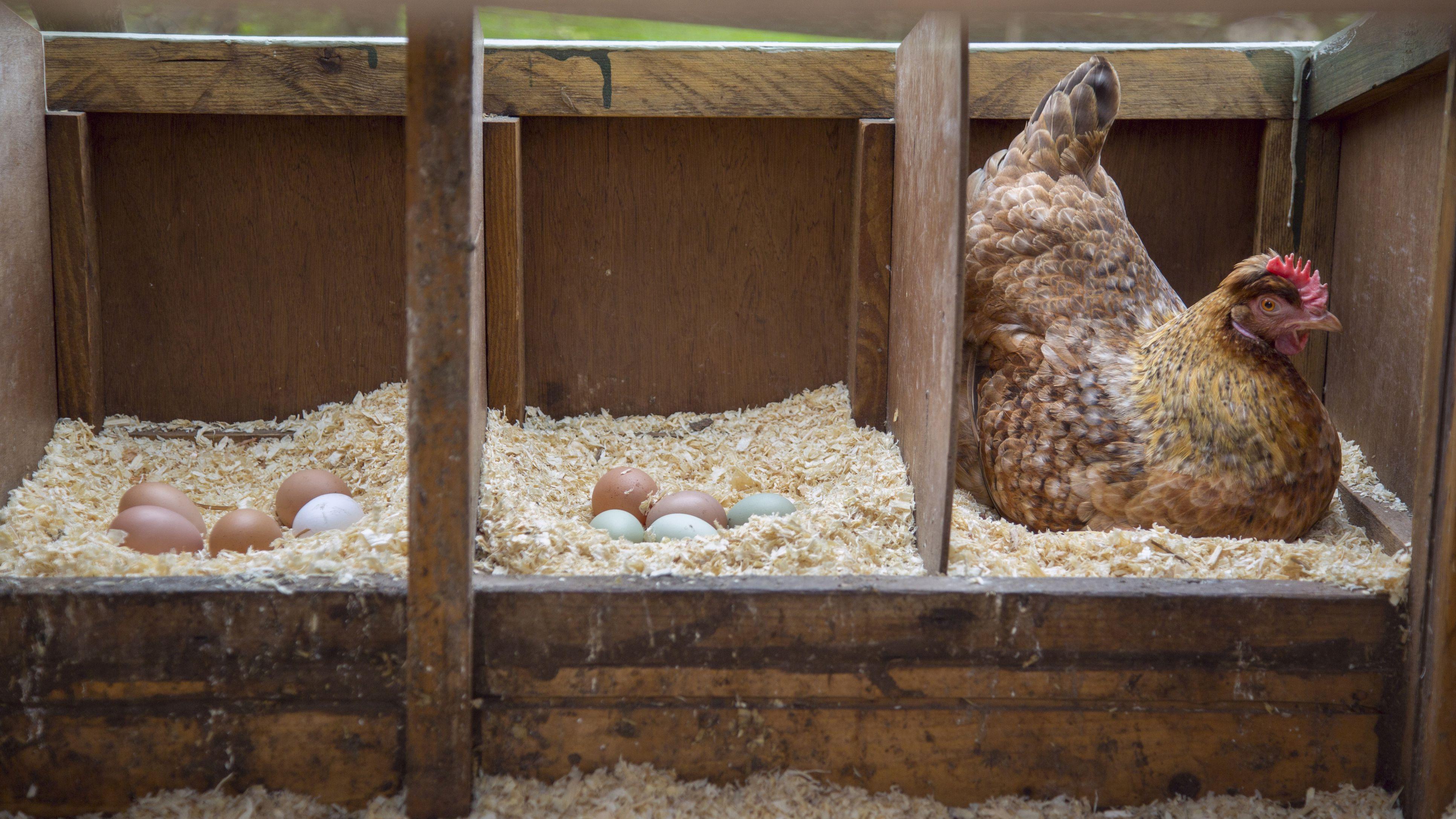 Tips on Handling a Broody Hen