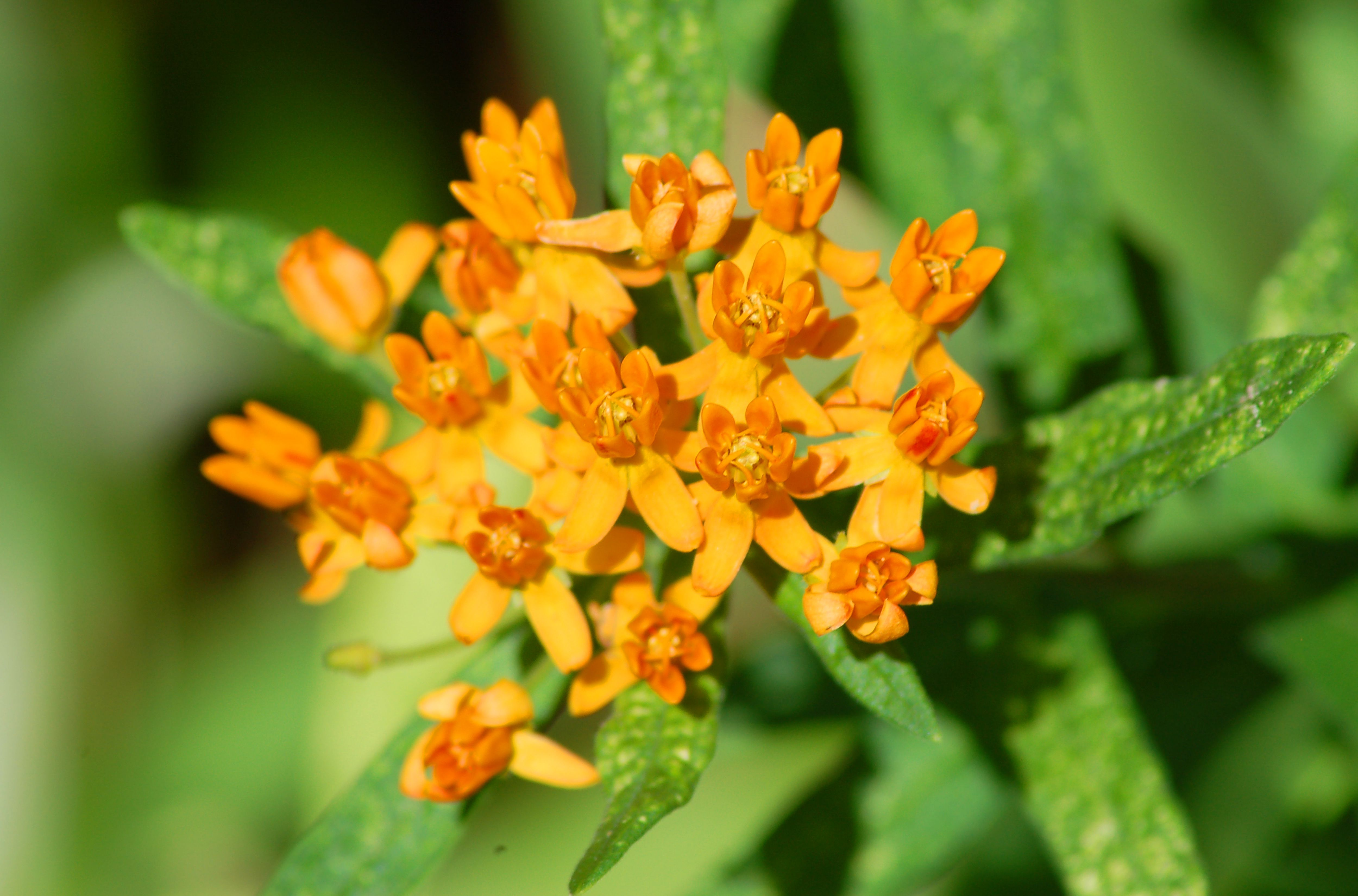 Butterfly weed with its orange flowers.