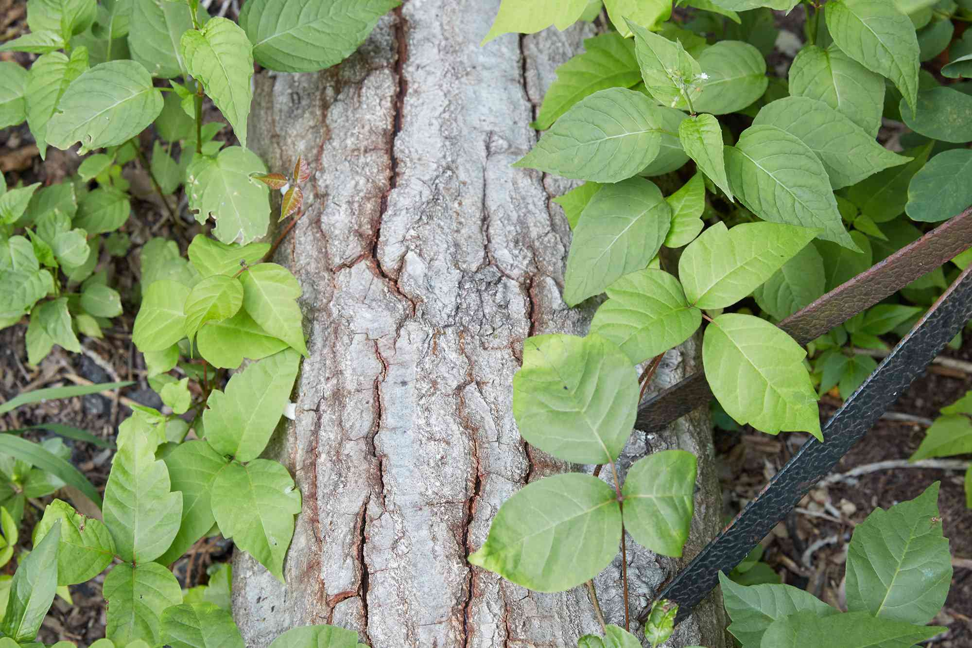 Poison ivy vine climbing tree bark and identified with three glossy green leaflets