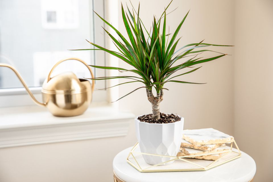 Dragon tree in white geometric pot on decorated table next to window with gold kettle