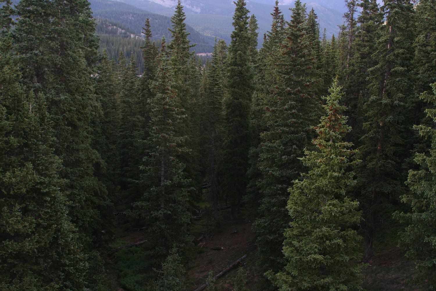 Coniferous Forests as Bird Habitats