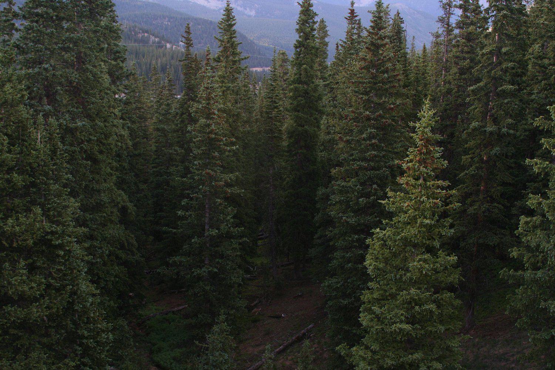 Coniferous Forests as Bird Habitats