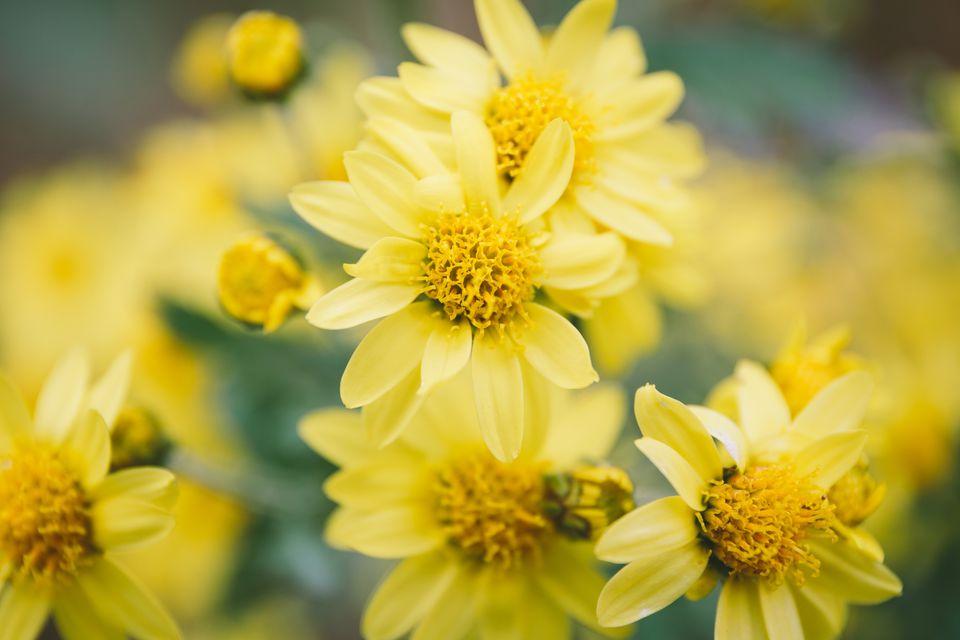 Butter daisy flowers