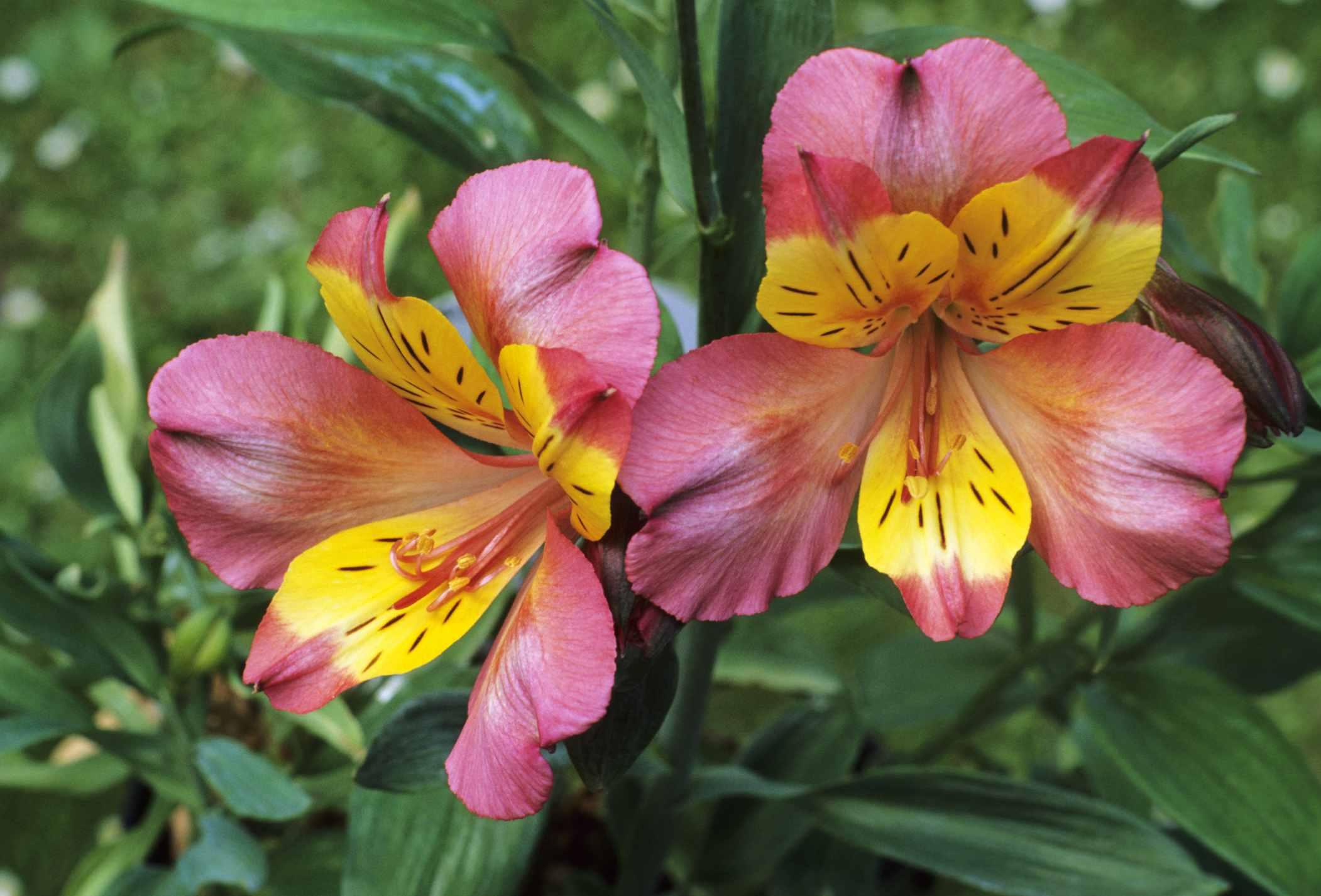 'Alexis' Peruvian Lily