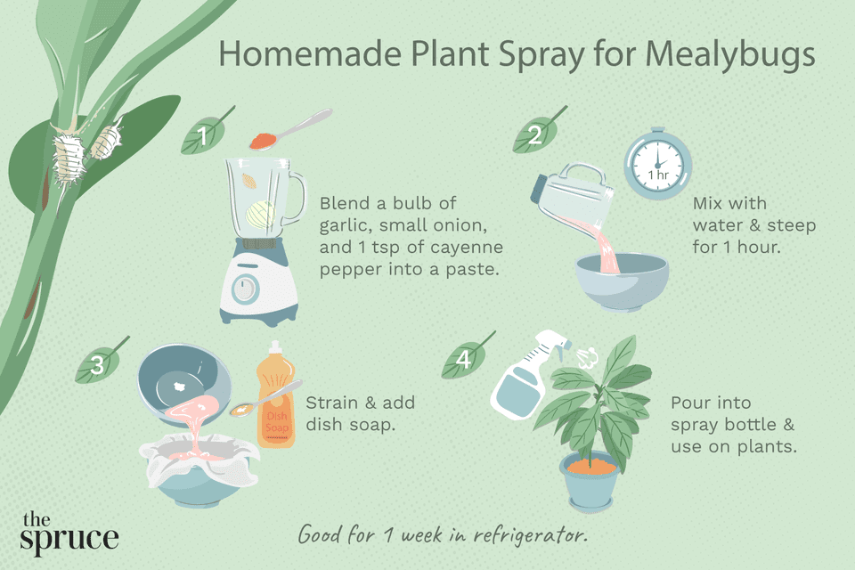 Illustration of homemade plant spray for mealybugs