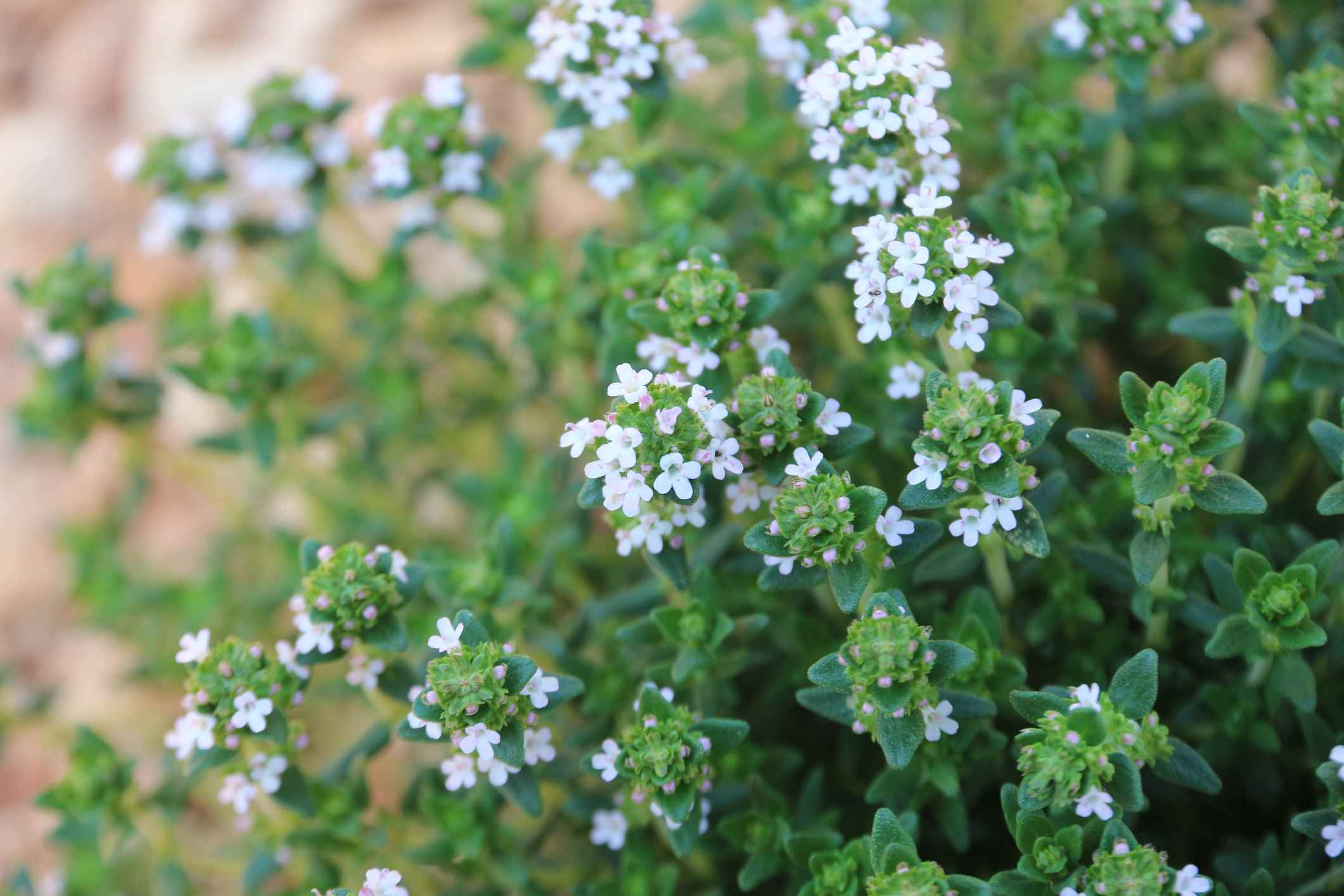 12 Plants That Repel Those Pesky Mosquitoes