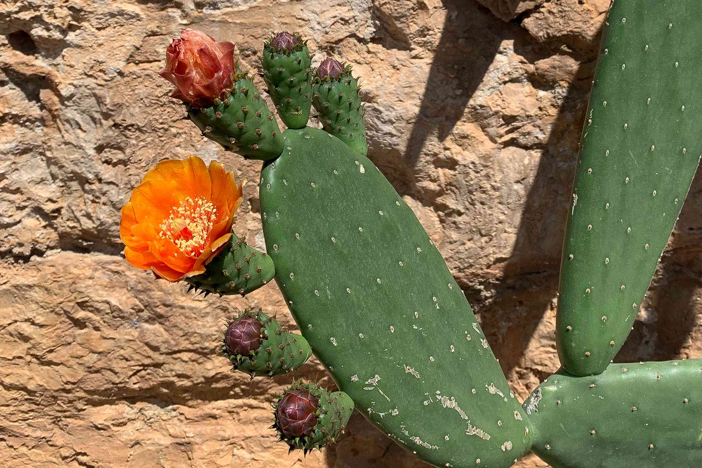 Cactus plant with flat rounded leaves and orange and red flowers blooming in sunlight