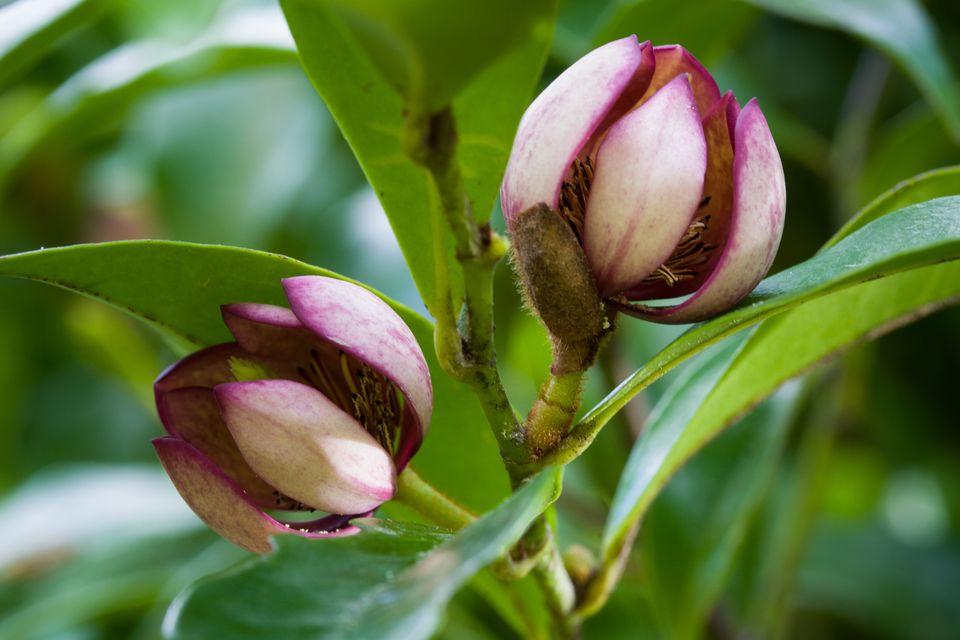 port wine magnolia banana shrub