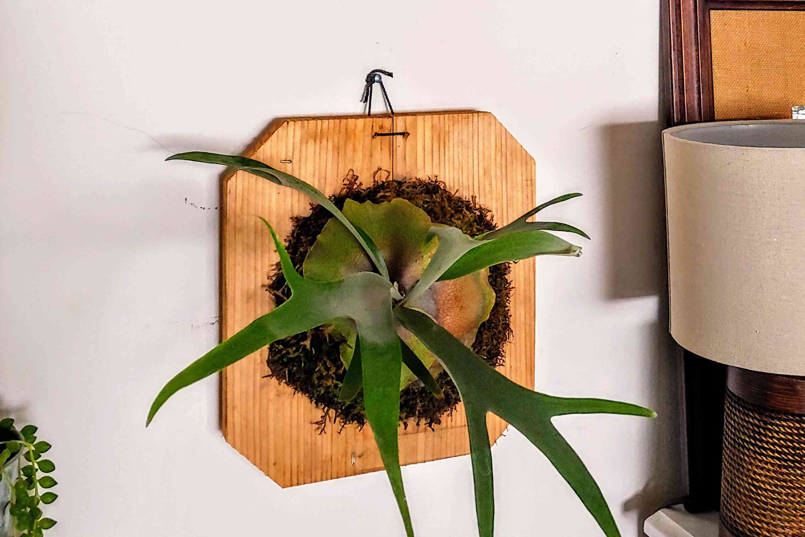 A mounted staghorn fern next to a vintage lamp and picture frame.